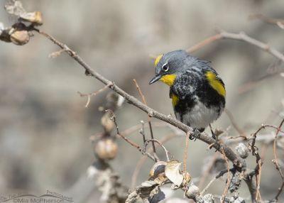 Spring Yellow-rumped Warbler in breeding plumage, Box Elder County, Utah