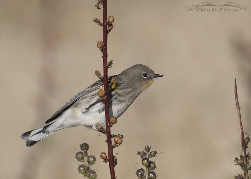 Mullein & Yellow-rumped Warbler during Autumn migration, Antelope Island State Park, Davis County, Utah