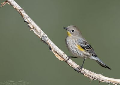 Yellow-rumped Warbler in nonbreeding plumage during Autumn migration, Salt Lake County, Utah