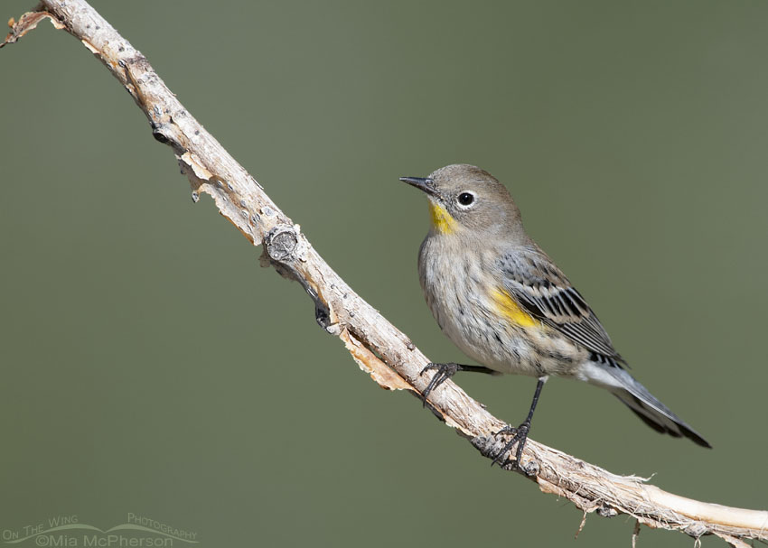 Yellow-rumped Warbler in nonbreeding plumage during Autumn migration, Salt Lake County, Utah