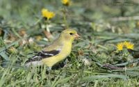 Female American Goldfinch eating dandelion seeds, Little Emigration Canyon, Morgan County, Utah