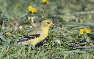Female American Goldfinch eating dandelion seeds, Little Emigration Canyon, Morgan County, Utah