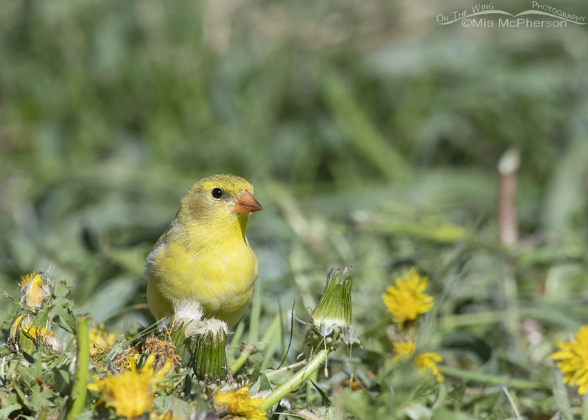 Female American Goldfinch in dandelions, Little Emigration Canyon, Morgan County, Utah
