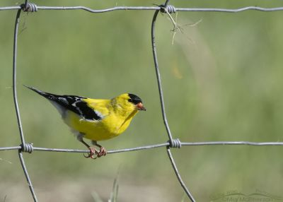 American Goldfinch male perched on a fence, Little Emigration Canyon, Morgan County, Utah