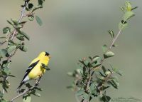 Male American Goldfinch in breeding plumage, Little Emigration Canyon, Summit County, Utah