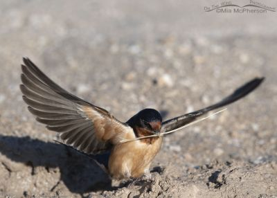 Barn Swallow landing with nesting material, Antelope Island State Park, Davis County, Utah