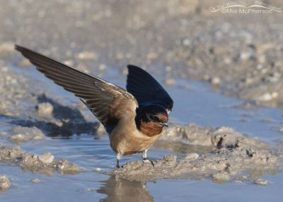 Barn Swallow landing at a puddle, Antelope Island State Park, Davis County, Utah