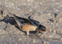 Barn Swallow with a beak full of nesting materials, Antelope Island State Park, Davis County, Utah