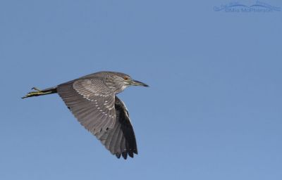 Immature Black-crowned Night Heron in flight against a clear blue sky, Bear River Migratory Bird Refuge, Box Elder County, Utah