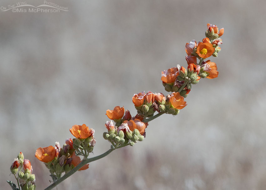 Blooming Desert Globemallow, Box Elder County, Utah