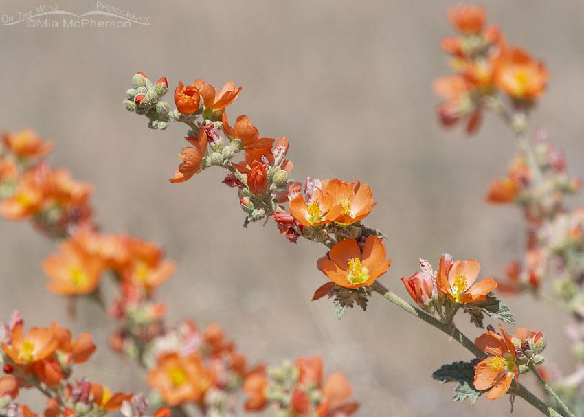 Desert Globemallows in full bloom, Box Elder County, Utah