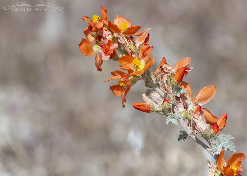 Desert Globemallow wildflower, Box Elder County, Utah