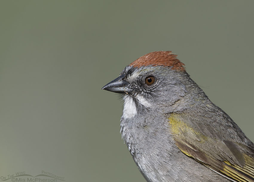 Adult Green-tailed Towhee portrait, Little Emigration Canyon, Morgan County, Utah