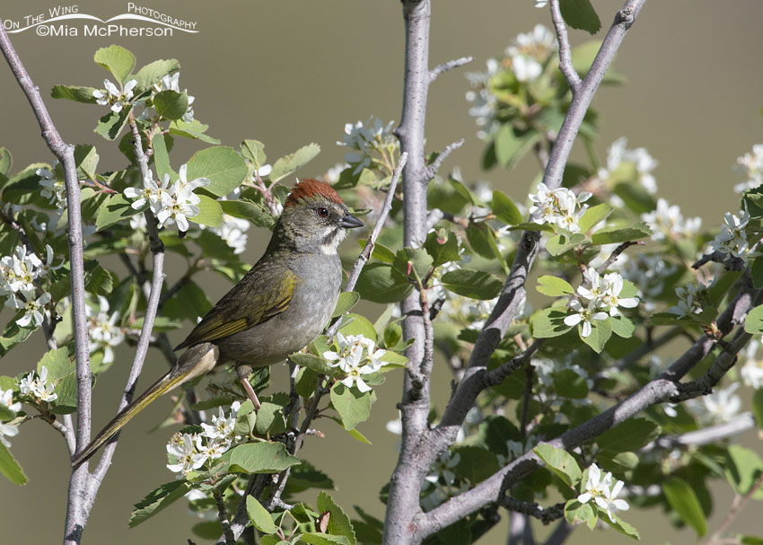 Green-tailed Towhee perched on a Utah Serviceberry, Little Emigration Canyon, Morgan County, Utah