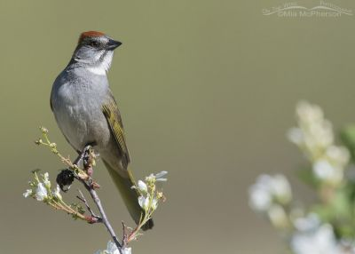 Green-tailed Towhee on a flowering branch, Little Emigration Canyon, Summit County, Utah