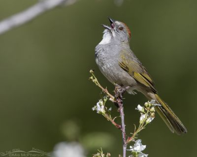 Male Green-tailed Towhee singing on a May morning, Little Emigration Canyon, Summit County, Utah