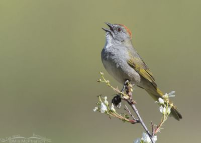 Green-tailed Towhee singing on a flowering branch, Little Emigration Canyon, Summit County, Utah