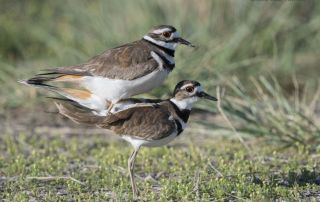 Mating Killdeer, Bear River Migratory Bird Refuge, Box Elder County, Utah