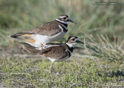 Mating Killdeer, Bear River Migratory Bird Refuge, Box Elder County, Utah