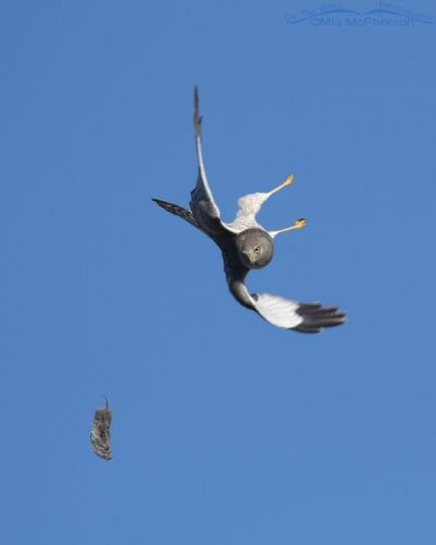 Male Northern Harrier diving after falling prey, Box Elder County, Utah
