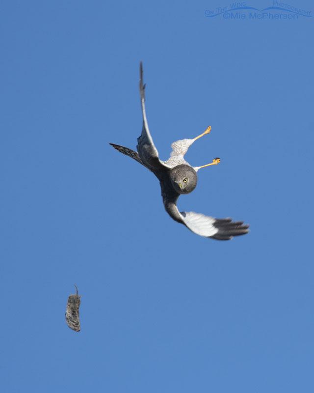 Male Northern Harrier diving after falling prey, Box Elder County, Utah