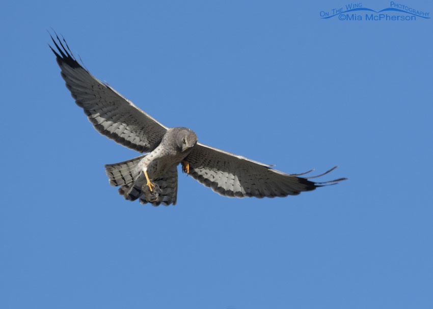 Northern Harrier grasping prey in flight, Box Elder County, Utah