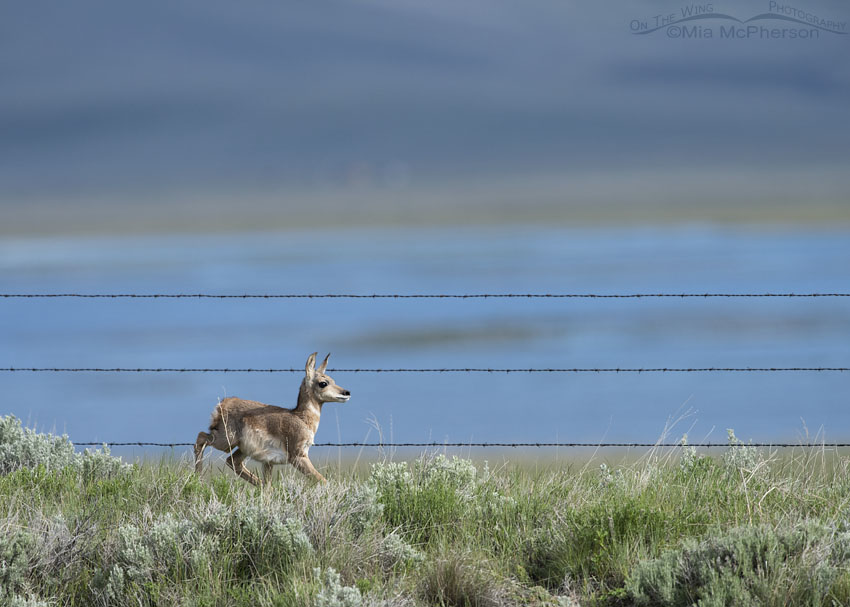 Young Pronghorn fawn in the Centennial Valley, Red Rock Lakes National Wildlife Refuge, Beaverhead County, Montana
