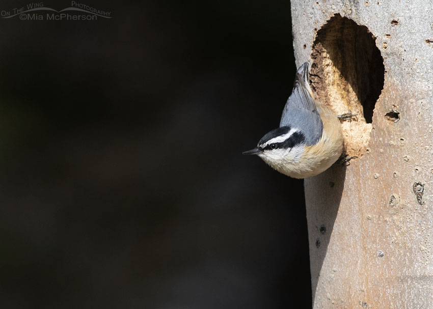 Female Red-breasted Nuthatch checking out a nesting cavity, Targhee National Forest, Clark County, Idaho