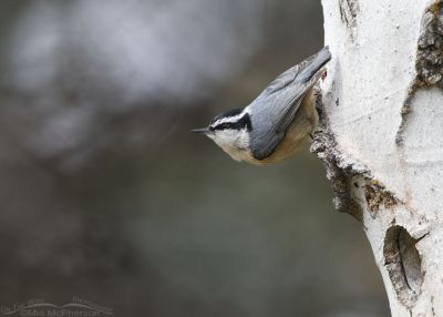 Red-breasted Nuthatch in the Targhee National Forest, Clark County, Idaho