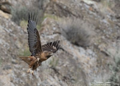 Beautiful Red-tailed Hawk obtaining flight, Box Elder County, Utah
