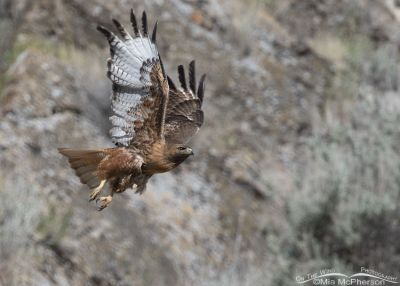 Big Red - Red-tailed Hawk in flight, Box Elder County, Utah