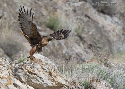 Big Red-tailed Hawk lifting off, Box Elder County, Utah