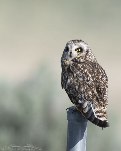 Short-eared Owl looking off into the distance, Box Elder County, Utah