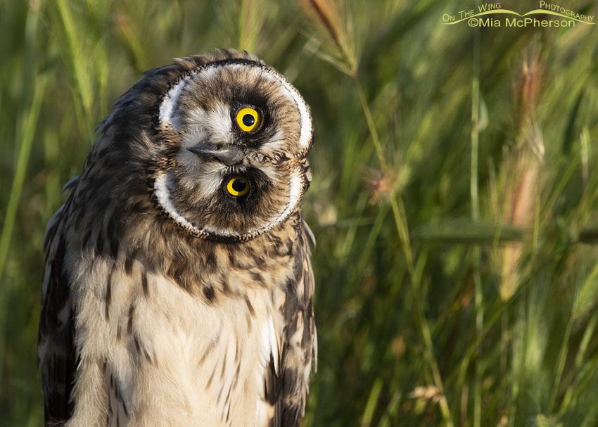 Close up of a curious Short-eared Owl fledgling, Box Elder County, Utah