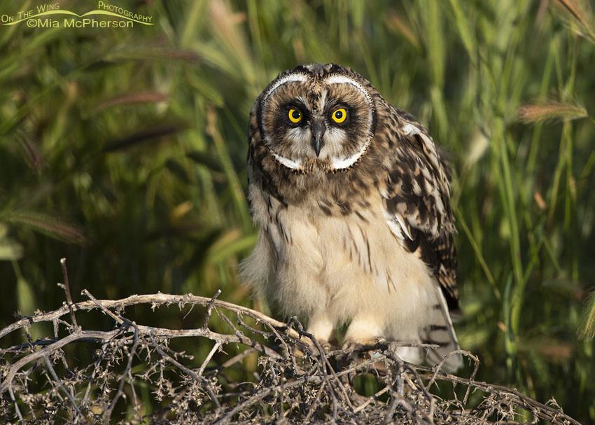 Fledgling Short-eared Owl on a tumbleweed, Box Elder County, Utah