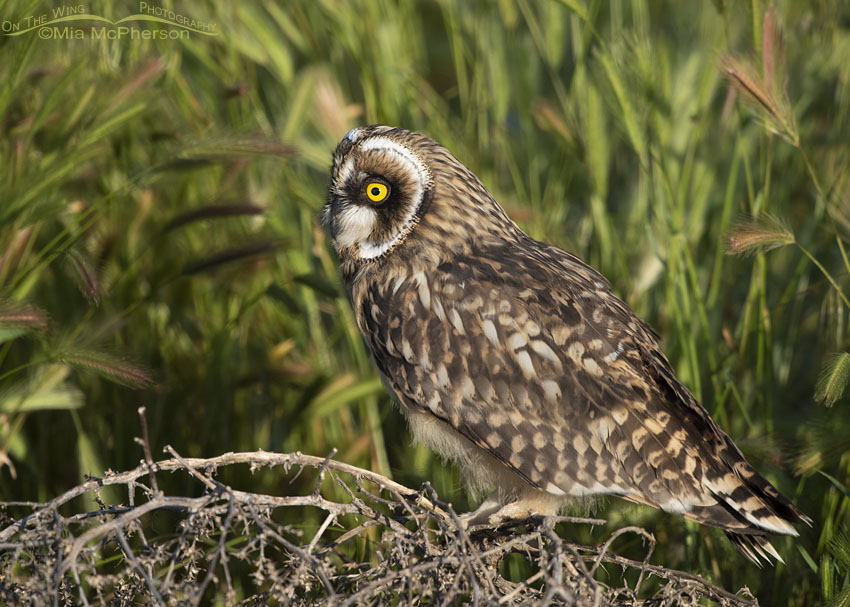 Fledgling Short-eared Owl perched on tumbleweed in early morning light, Box Elder County, Utah