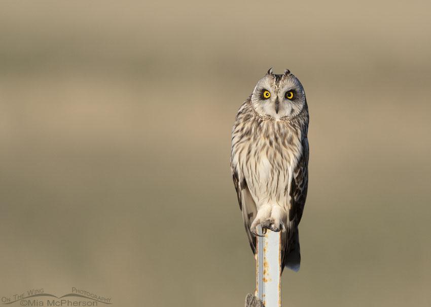 Alert male Short-eared Owl showing his ear tufts, Box Elder County, Utah