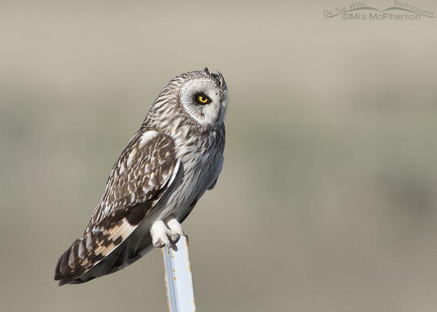 Male Short-eared Owl on a white fence post, Box Elder County, Utah