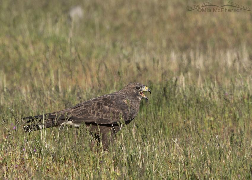 Female dark morph Swainson's Hawk calling in grasses, Box Elder County, Utah