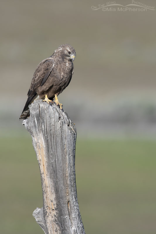 Sub-adult dark morph Swainson's Hawk from a distance, Box Elder County, Utah