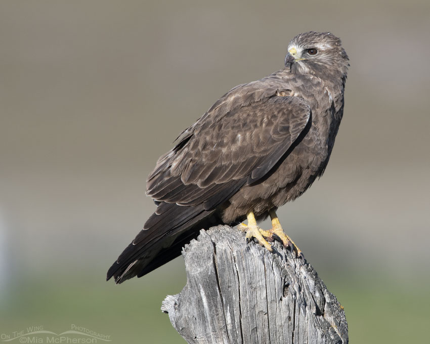 Sub-adult dark morph Swainson's Hawk on a May morning, Box Elder County, Utah