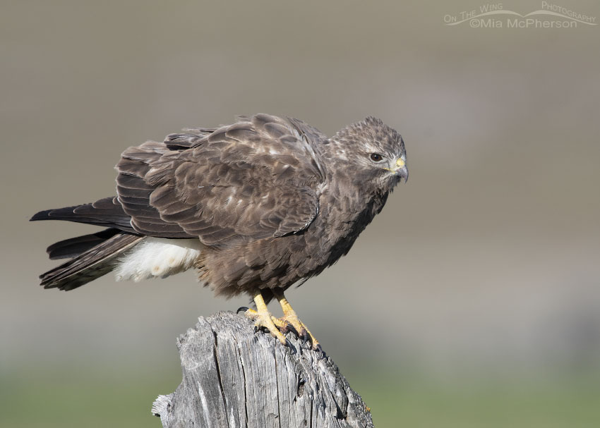 Rousing sub-adult dark morph Swainson's Hawk, Box Elder County, Utah