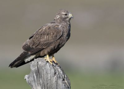 Side view of a sub-adult dark morph Swainson's Hawk, Box Elder County, Utah