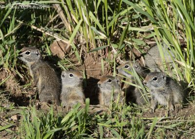 Six Uinta Ground Squirrel babies at their burrow, Little Emigration Canyon, Summit County, Utah