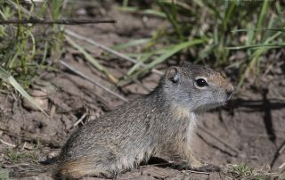 Young Uinta Ground Squirrel in the Wasatch Mountains, Little Emigration Canyon, Summit County, Utah