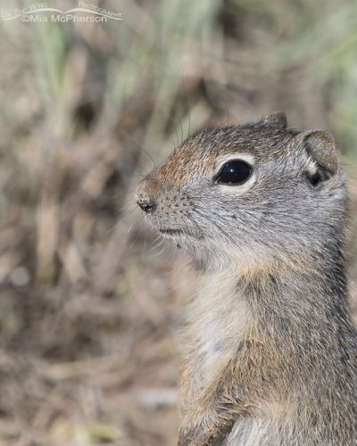 Standing baby Uinta Ground Squirrel close up, Little Emigration Canyon, Summit County, Utah