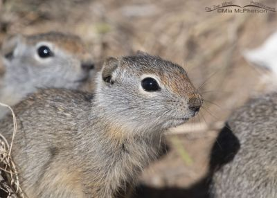 Up close with a young Uinta Ground Squirrel, Little Emigration Canyon, Summit County, Utah