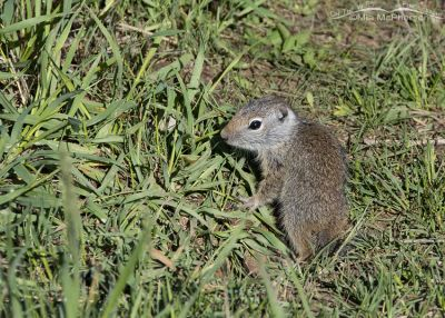 Baby Uinta Ground Squirrel near its burrow, Little Emigration Canyon, Summit County, Utah