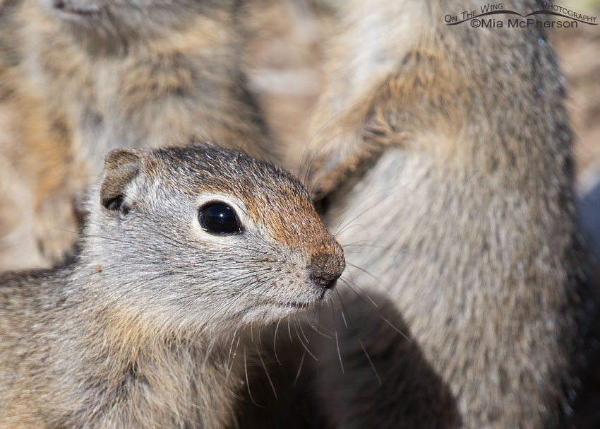 Young Uinta Ground Squirrel up close with its siblings, Little Emigration Canyon, Summit County, Utah