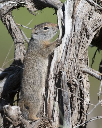 Young Uinta Ground Squirrel standing on a stump, Little Emigration Canyon, Summit County, Utah